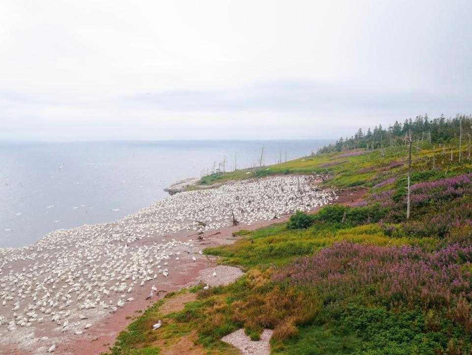 La colonie des fous de Bassan sur l'île Bonaventure - Roadtrip au Québec, Canada - Blog Voyage Ma Folie Vagabonde