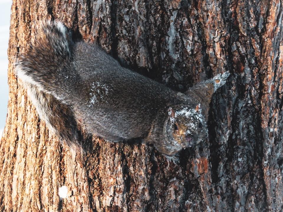 Un écureuil sortant de la neige au Parc La Fontaine - L'Hiver à Montréal, Canada - Blog Voyage Ma Folie Vagabonde