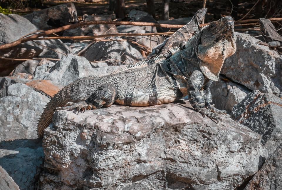 Iguane aux ruines d'Uxmal - Roadtrip 10 jours au Mexique - Blog Voyage Ma Folie Vagabonde