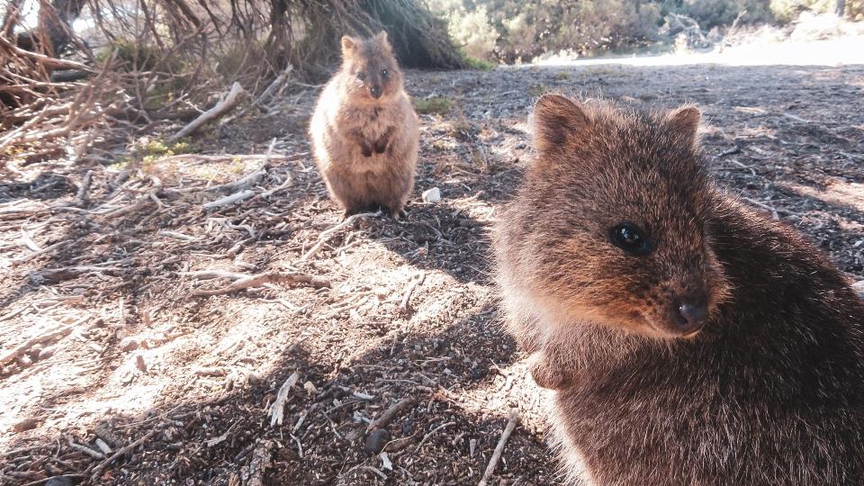 Quokkas sur Rottnest Island - PVT Australie : de Perth à Darwin - Blog Voyage Ma Folie Vagabonde