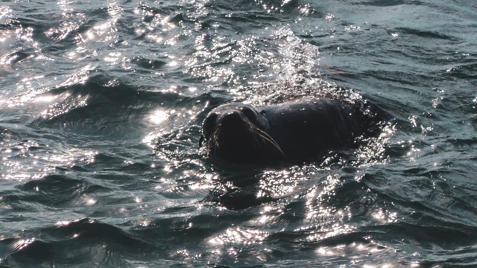 Phoque, Rottnest Island - PVT Australie : de Perth à Darwin - Blog Voyage Ma Folie Vagabonde